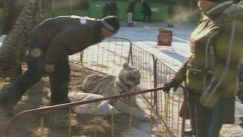 Tiger Attack At Zoo Leaves Boy In Critical Condition