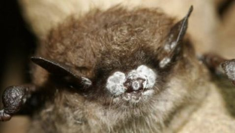 Millions of Bats Infected with White Nose Syndrome