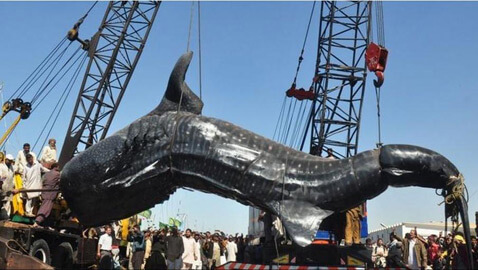 Was the 40-Feet Whale Shark Caught In Pakistan Already Dead as Claimed?