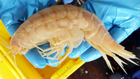 """""""Supergiant"""" Amphipods Rediscovered in New Zealand"""