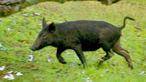 Girlfriend Accidentally Shot During Wild Hog Hunt in Florida