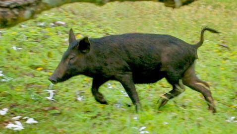 Girlfriend Accidentally Shot During Wild Hog Hunt in Florida