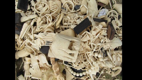 Wildlife Conservation Society Says No Legal Ivory Trade