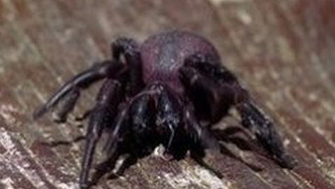 Sadiya, India Invaded by Killer Spiders