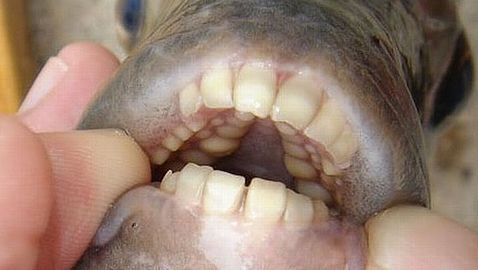 Fish That Eats Human Testicles Found in Illinois Lake