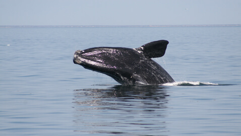 Rights of Right Whales Tossed Out by Court