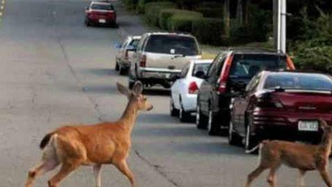 Woman Calls Radio Show to Complain That Deer are Attracted to Deer Crossing Signs