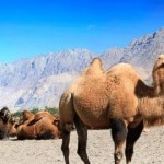 Camel Culling in Australia Outrages Many
