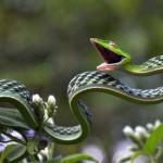 green-vine-snake