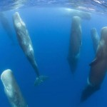 sleeping-sperm-whales