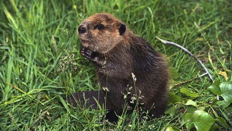 Beaver Kills Fisherman in Belarus