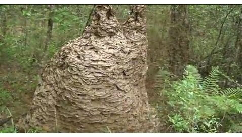 "Florida Entomologist Fights Million Wasps in Nest of ""Jurassic"" Proportions"