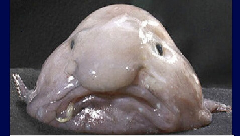 'Ugliest Animal' Award Goes to Blobfish