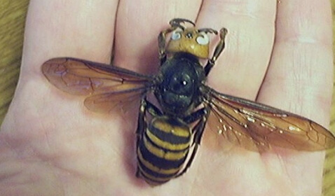 China's Hornet Problem Becoming Lethal
