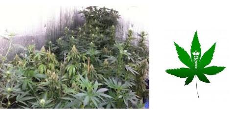 Marijuana Market Sees More Growth than Smartphone Market