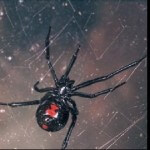 Black Widow Spiders Found in Supermarket Grapes