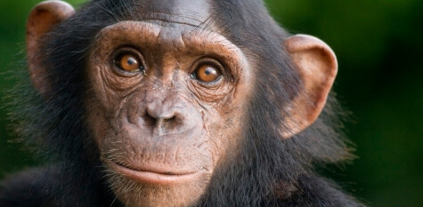 Activist Lawyer Asks Judge to Free Pet Chimpanzee