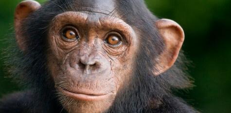 Activist Lawyer Asks Judge to Free Pet Chimpanzee