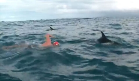 Dolphins Protect British Long Distance Swimmer From Great White Shark