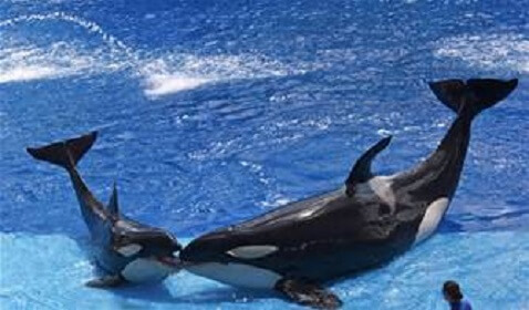 SeaWorld Sedates their Whales with Valium-like Drugs