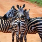 Scientists Solve Mystery of Why Zebras Have Stripes