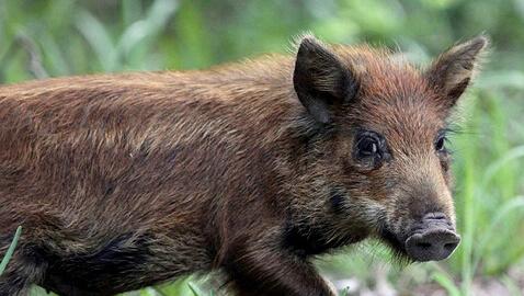 wild-pig_Fotor