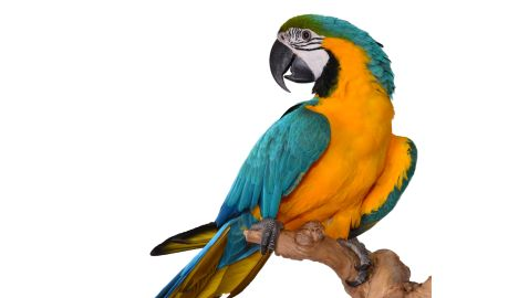 A Macaw Parrot