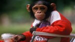 Court Rules Chimps Are Not Legal Persons