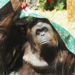 Court Rules Orangutan Can Be Freed from Buenos Aires Zoo