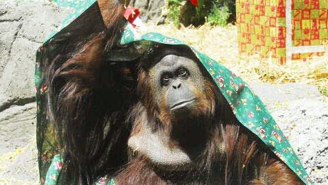 Orangutan Named Sandra Can Be Freed from Zoo