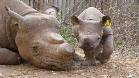 Rhino Breeders Ask South Africa to Lift Horn Ban