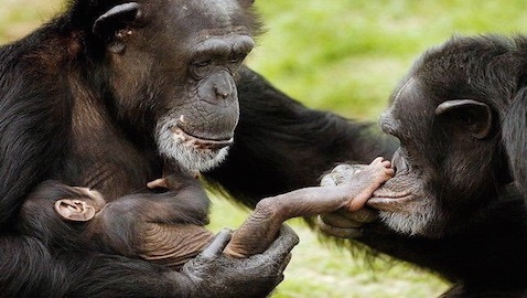A New York judge has ruled that, for purposes of habeas corpus, chimpanzees are not legal persons.