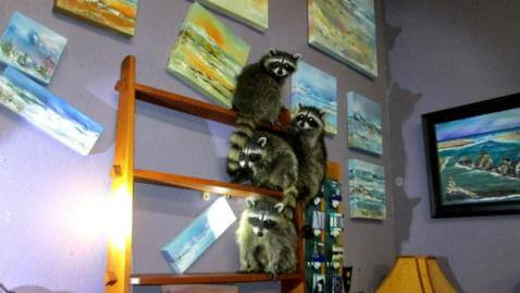 "Four ""Masked Bandits"" Caught Red-Pawed in Oregon Art Gallery"