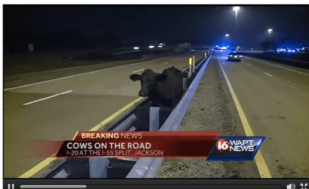 Over 100 Escaped Cows Roam Free on Mississippi Freeway (Although Not Quite Legally)
