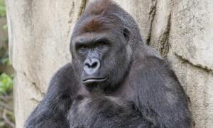 harambe_gorilla-1200x800