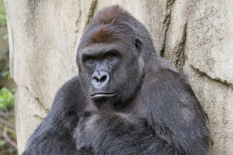 Parents of 4-Year-Old May be Charged for Gorilla's Death