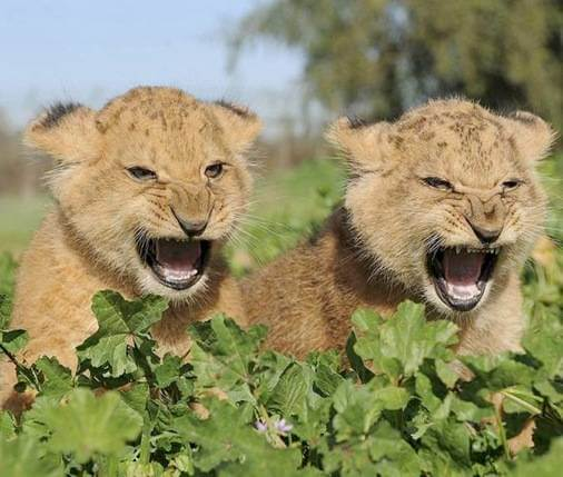 Baby lion cubs roaring