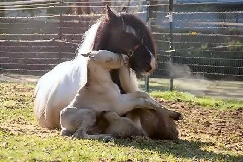 Baby nuzzling mama horse