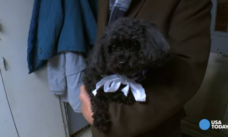 This black teacup poodle is on a mission.