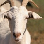 Man Rapes Goat after Being Rejected by Women