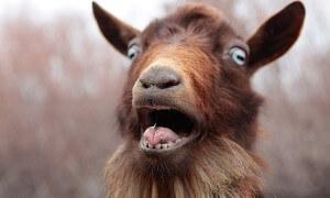 goat_roar_by_fbcota