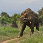 Elephant Hunter Crushed by Elephant Shot by Fellow Hunters