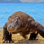 Tourist Attacked by Komodo Dragon