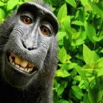 Monkey Selfie Copyright Lawsuit Headed to Appeals Court
