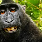 PETA, Photographer Settle Monkey Selfie Case