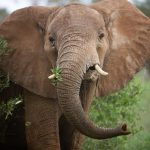 US Will Allow Imports of African Elephant Trophies